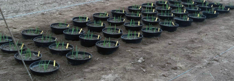 Pottene etter planting av purre 24.5.2019. Foto: Ishita Ahuja