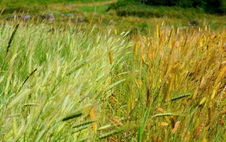 Til venstre ser dyrkes emmer, mens til høyre dyrkes det enkorn. Se hvordan enkorn skinner. Foto: Ragna Kronstad