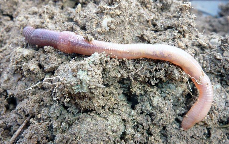 Av sprøytemidler i landbruket, er generelt midler brukt til desinfisering av jord og noen soppmidler veldig giftige for meitemark, mens flere ugrasmidler er mindre giftige. Foto: Reidun Pommeresche