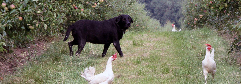 Høner Økologisk Anita Land 0763