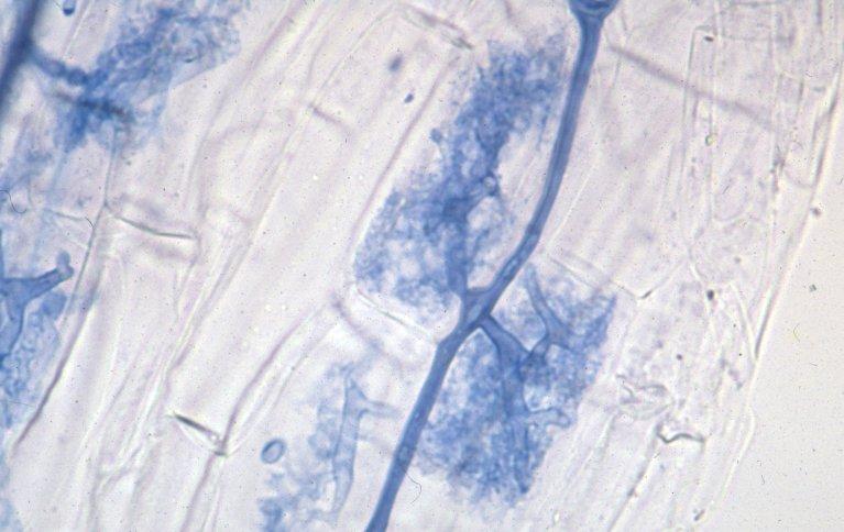 Den mest vanlige typen sopprot er arbuskulær mykorrhiza (AM). Her er soppen farget blå, og arbusklene ses tydelig som sterkt forgrenete strukturerer inne i rotceller hos hvete. Veggene til plantecellene skimtes som blanke firkanter rundt de tre blå arbusklene i bildet. Foto: Theo Ruissen