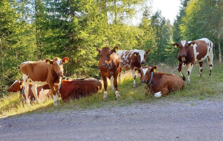 NYE REGLER: Økologiske kastrater må på beite om sommeren eller ha tilgang til luftegård hele livet. Foto: Produsent