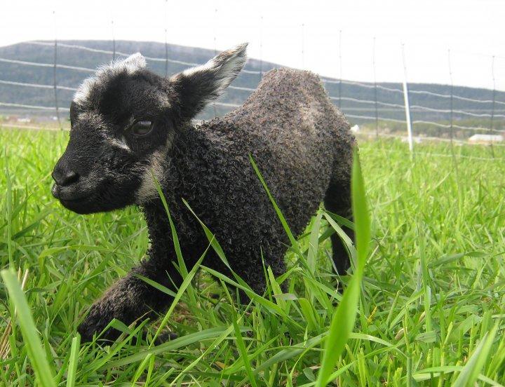 Lammene prøver å reise seg rett etter fødselen. Foto: Juni Rosann Johanssen