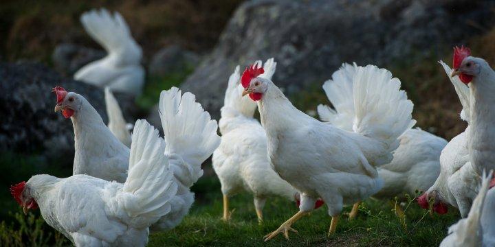 Høner på Solem gård. Gården blir drevet økologisk. Foto: Debio