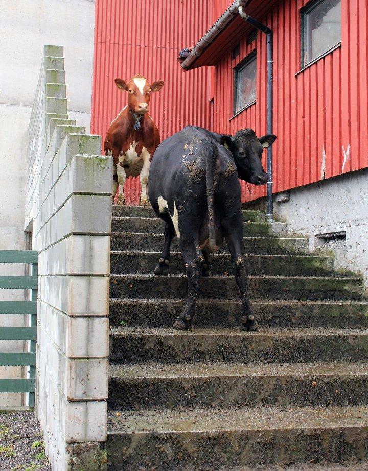 Kyrne lærer seg fort å bruke trapp. Tilgangen til luftegården er åpen på dagtid. Foto: Nina Iren Ugelvik