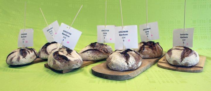 Mel fra kornsorter under testing ga flotte surdeigsbrød. Foto: Randi Berland Frøseth