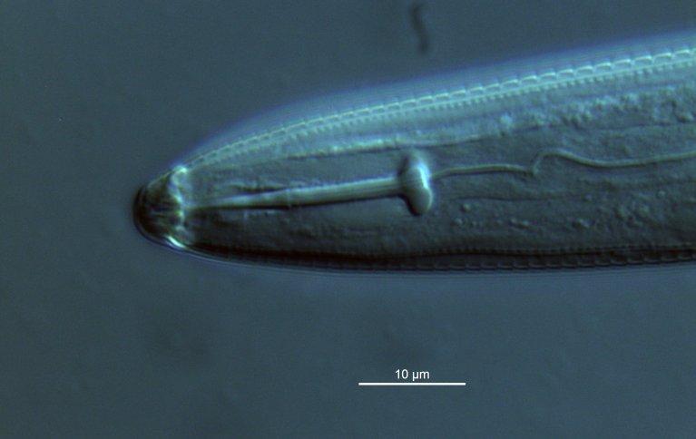 De planteparasittære nematodene har kraftig munnbrodd, her i munnhulen hos en spiralnematode. Foto: Christer Magnusson