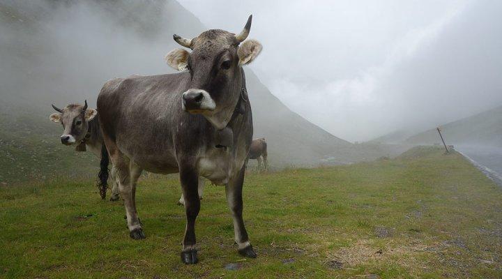 Tiroler Grauvieh. Foto: Tyr