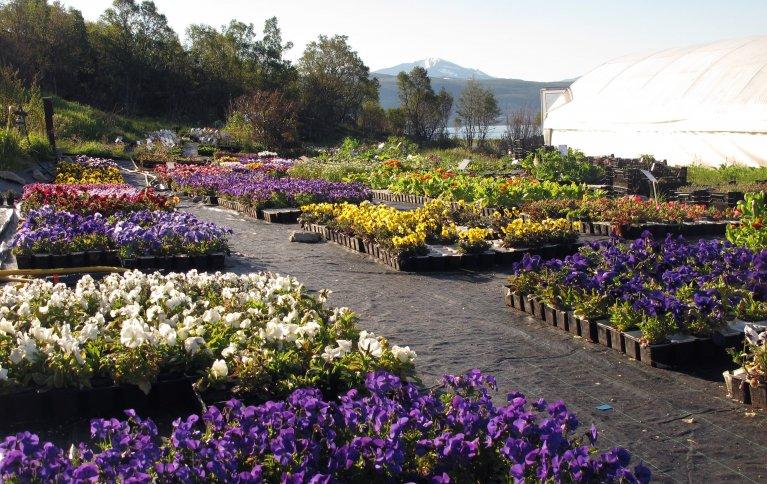 Salgsklare planter på Skulgam økologiske gartneri. Foto: Skulgam gartneri