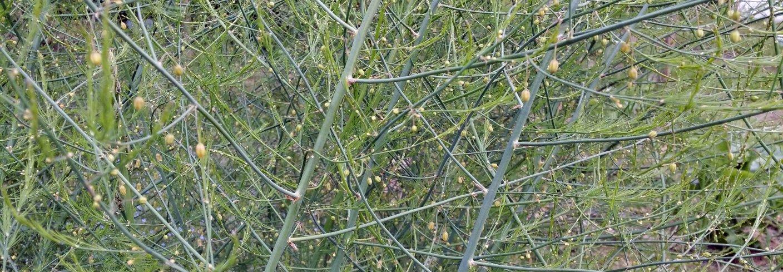 Det er viktig at aspargesplantene får god tid til å stå og samle energi. I et godt år lagrer plantene mye opplagsnæring i røttene og gir stor avling neste vår. Foto: Maud Grøtta