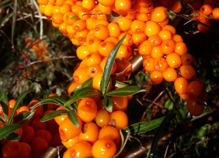 Modne bær og blader med høstfarger gjør tindvedbuskene til en estetisk nytelse om høsten. Avlinga per busk kan variere fra under en kilo til 10-15 kilo. Foto: Steve Saltermark