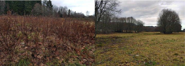 Jordbruksareal før og etter det er tatt i bruk til beiting med kviger på Hjelset i Molde kommune