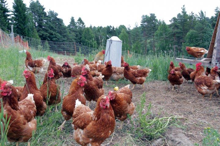 Hønene går ute og beiter og flyttes med jevne mellomrom. På natta holdes de inne i ei flyttbar vogn, hvor de også har rugekasser. Foto: Anita Land