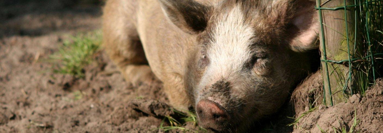 BEDRE BÆREKRAFT MED ØKOLOGISK GRIS: En komparativ studie utført av svenske forskere viser at økologisk grisehold kommer bedre ut på de fleste områder når det gjelder bærekraft. Foto: Piqsels