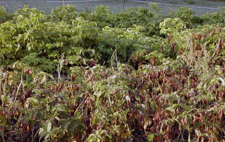 Potettørråte er den viktigste sjukdommen i potet i Norge og skyldes en sopplignende organisme som angriper både blad, stengler og knoller. Foto: Theo Ruissen