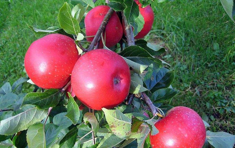 ØKOLOGISKE EPLER: Jevne avlinger nøkkelen til god økonomi. Foto: Grete Lene Serikstad