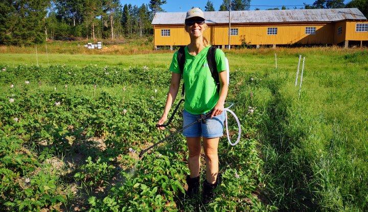 Forsker Tatiana Rittl i NORSØK sprøyter potet med ozonholdig vann i et forsøk på Tingvoll gard. Foto: Atle Wibe