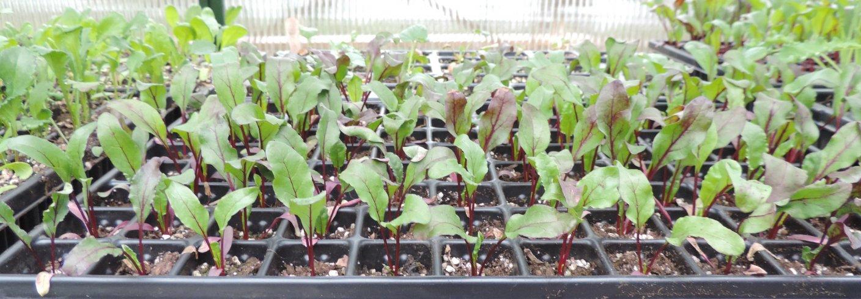 Brett til oppal av småplanter. Vi kan gjenbruke bokser og beger, kjøpe utstyr spesielt til formålet eller lage selv. Foto: Kirsty McKinnon