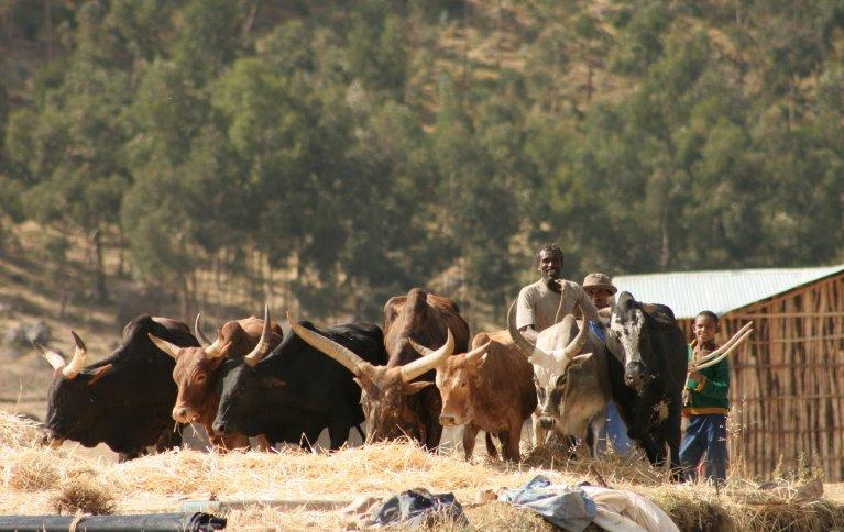 Okser har stor  tradisjonell betydning for landbruket i Etiopia. Foto: Anita Land