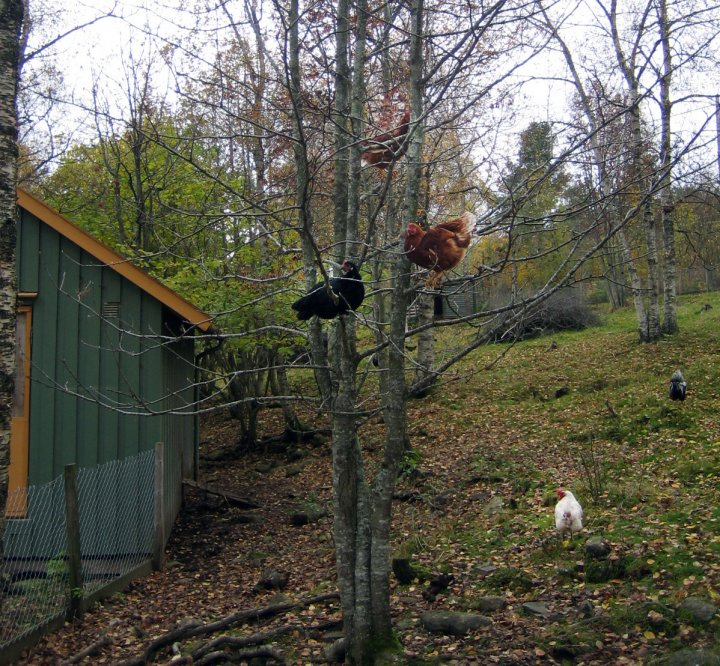 Utendørs kan høner vagle seg i trær og busker. Foto: Kirsty Mckinnon