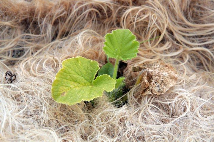 Jorddekke med ull er noko dei prøver ut. Her er det squashen som har fått ullteppe. Foto: Anita Land
