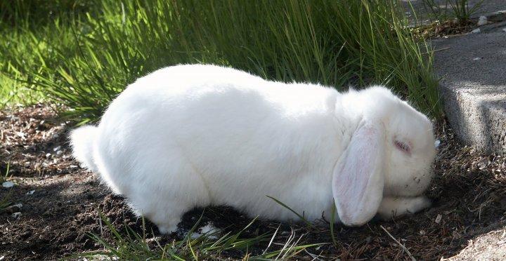 Graving er en viktig del av kaninens naturlige atferd. Foto: Juni Rosann Johanssen
