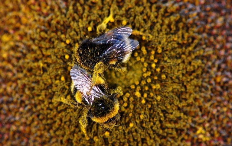 Det er estimert at i tempererte soner som vi har i Norge, blir rundt 78 % av blomstrende planter bestøvet av dyr. Og i de fleste tilfeller blir jobben gjort av insekter, forteller forsker i NIBIO Eveliina Kallioniemi. Foto: Ragnar Våga Pedersen, NIBIO