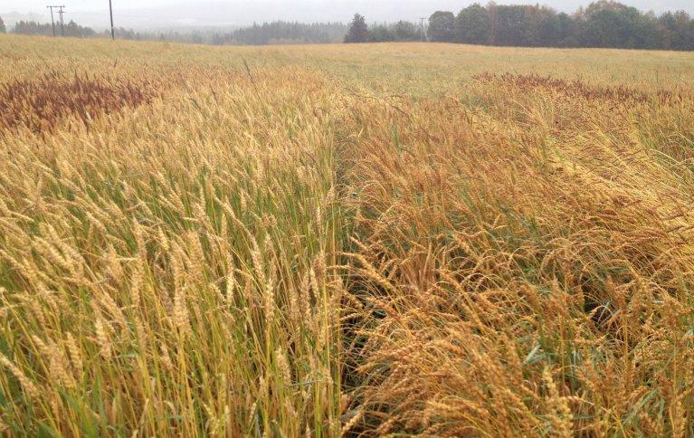 Ulike hvetesorter har forskjellig strålengde, og ulik farge på aksene. Her fra et feltforsøk på Bjerkem gård ved Steinkjer i 2017. Foto: Torunn Bjerkem
