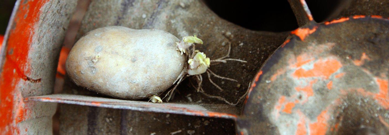 Setting av potet. Foto: Leif Arne Holme