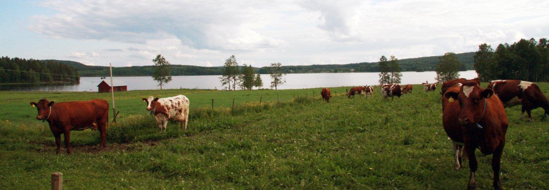 Kyr på en økologisk gard i Sverige. Foto: Anita Land