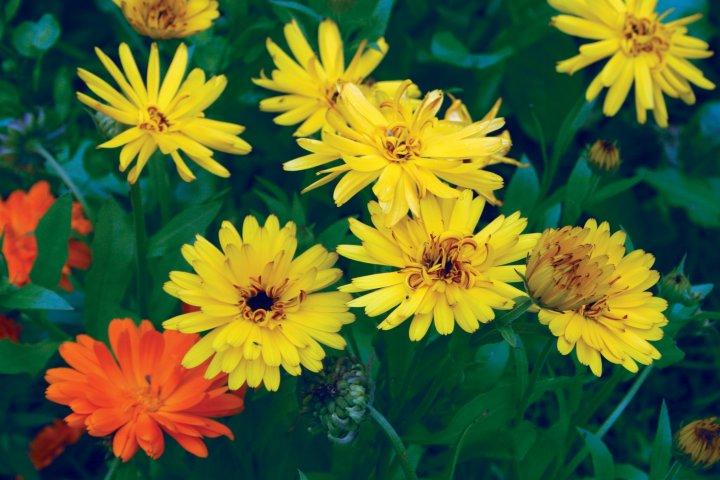 Ringblomst gir farge til hagen og kan brukes til salat og til te. Foto: Hanne Iren Dahlen