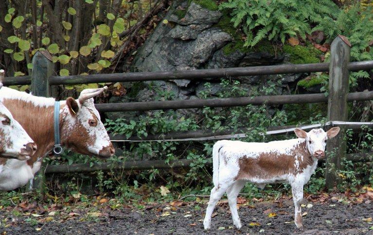 Unge dyr etter mødre som har fått lite selen vil være utsatt for sykdom pga. selenmangel. Foto: Anita Land
