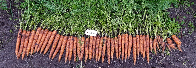 Sorten Namdal ga jevne og fine gulrøtter. Dette er avlinga på 1,5 løpemeter høstet 20. august. Foto: Ingrid Myrstad