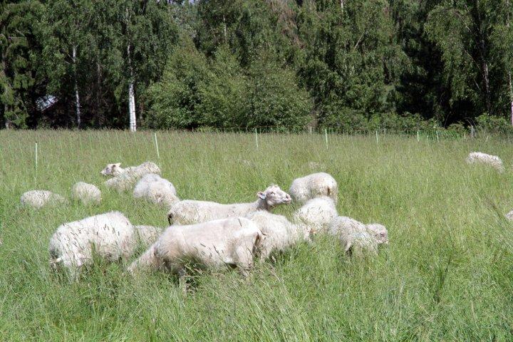 Sauene beiter i det høye graset, samtidig som de gjødsler og tråkker graset ned. Foto: Anita Land