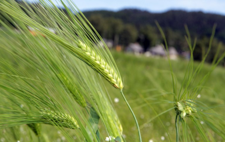 Mer dyrking og foredling av økologisk matkorn i Norge er et mål. Foto: Anita Land