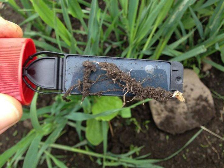 Bildet viser en rot med jord og mikroorganismer som ligger på en testpinne med næring. Et mindretall av jordlevende mikroorganismer kan dyrkes frem ved slike metoder. Både kultivering og mikroskopering erstattes i dag av ulike molekylære teknikker for å si noe om mikrolivet i jord. . Foto: Reidun Pommeresche