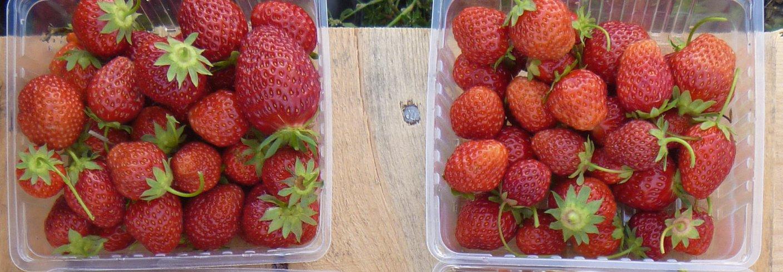 LØNNSOM PRODUKSJON: Økologiske jordbær kan være både smakfulle og lønnsomme. Foto: Atle Wibe