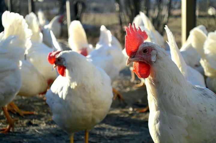 Den fremste høna følger nøye med både med syn og hørsel. Foto: Juni Rosann E. Johanssen
