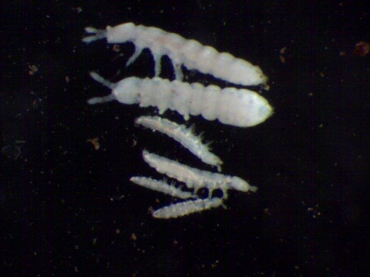 Små, hvite spretthaler er vanlige i jordbruksjord. Nederst tre individ av Mesaphorura macrocheata (lengde 0,7 mm), øverst to individ av  Protaphorura armata (lengde 1,8 mm). Disse artene mangler hoppegaffel, som vist av navnet «aphorura», «uten hale». Foto: Reidun Pommeresche