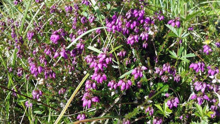 Purpurlyng har omtrent hele sin utbredelse i kystlyngheiene og i Norge finnes den bare i de ytterste, mest vintermilde strøkene fra Jæren til Sunnmøre. Foto: Maud Grøtta
