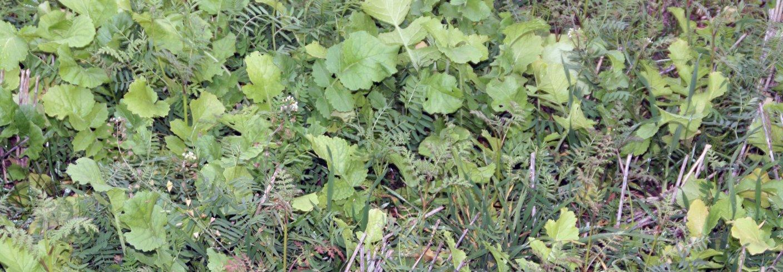 Blandinger som er prøvd sådd som fangvekst sådd et par uker før tresking, kan være aktuelle å bruke etter grønnsaker/potet, om de såes tidsnok. Korsblomstra vekster er enklest å få til, men må unngås om det er korsblomstra vekster som dyrkes i vekstskiftet. Foto: Kari Bysveen