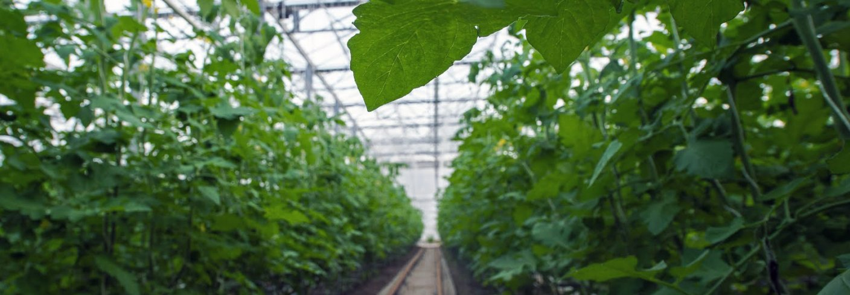 Tomatdyrking i Kjær Gartneri. Foto: Debio