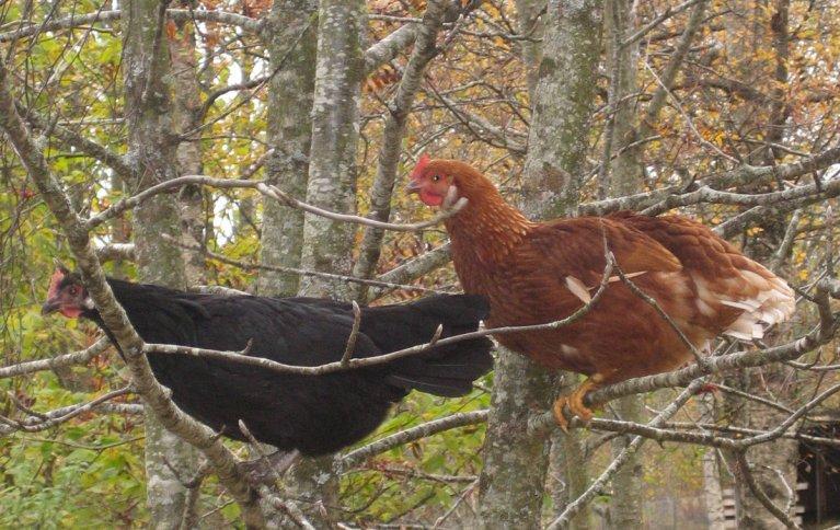 Høner bruker gjerne vaglepinne eller set seg opp i trea om dei har høve til det. Foto: Kirsty McKinnom, NORSØK