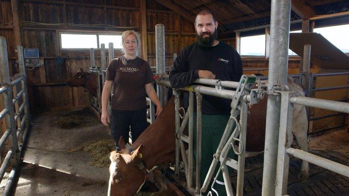 Ingvild Rekstad  og Jørgen Soknes ved Skaun Økosamdrift kalvene gå sammen med «ammetanter» den første tida etter råmelksperioden. Foto: Tommy Rustad