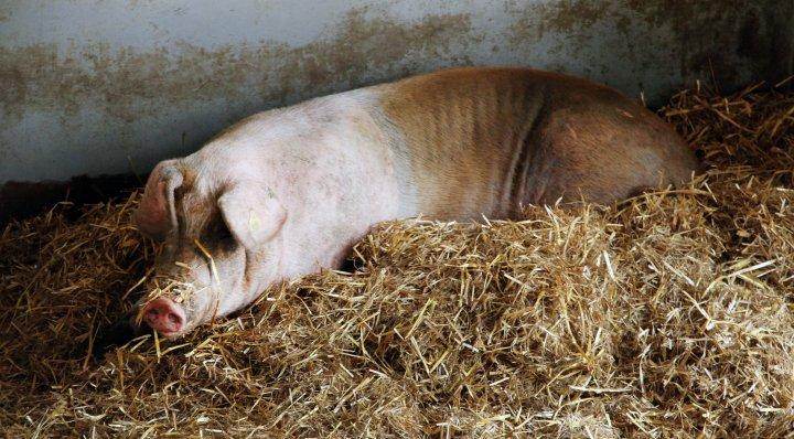 En tilfreds gris med god plass og halm som fungerer som et mykt liggeunderlag og miljøberikelse. Foto: Anita Land