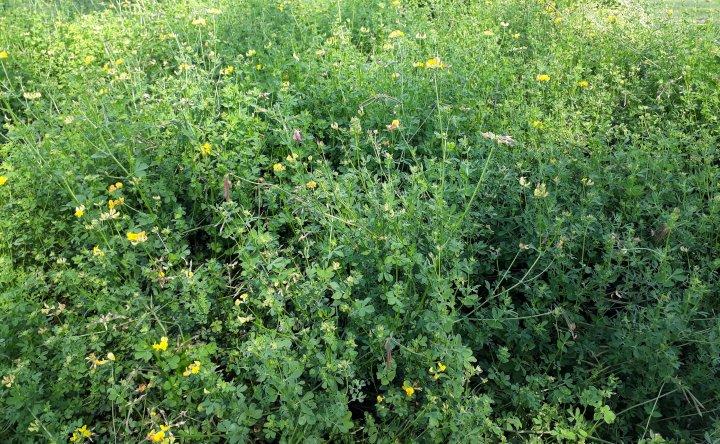 Tiriltunge har små, gule blomster. Bildet er fra Sveits. Disse plantene blir brukt til frøproduksjon og har ikke blitt slått før blomstring. Foto: Ievina Sturite