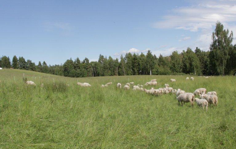 Gården Toreshaugen drives etter regenerative dyrkingsprinsipper og med helhetlig beiteplanlegging. Foto: Anita Land