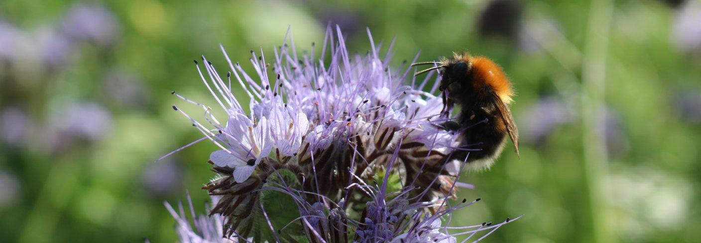 Humle henter nektar fra Honningurt. Foto: Grete Lene Serikstad