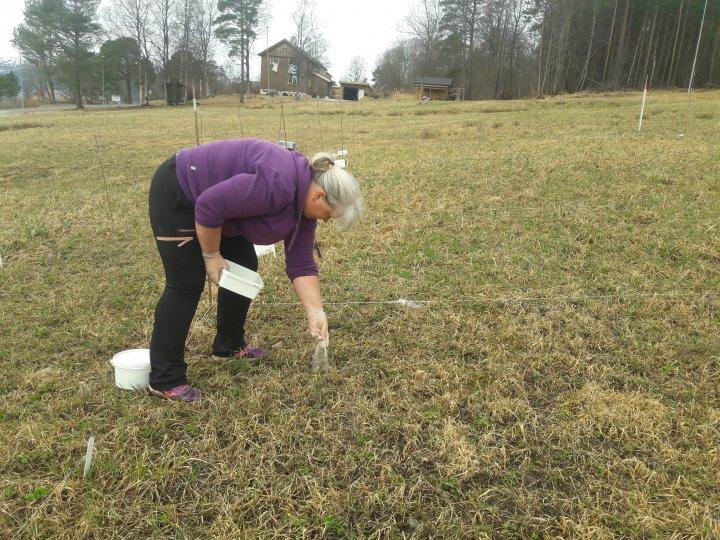 Forsøkstekniker Peggy Haugnes påfører struvitt på forsøkfelt