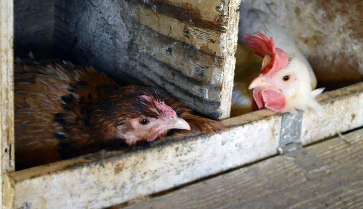 Høner legger egg i redekasser. Foto: Juni Rosann E. Johanssen